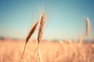 夏季小麦麦穗